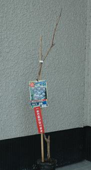 grapetree2012-1.jpg