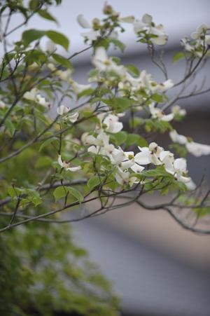 hanamizukiwhite2011427-1.jpg