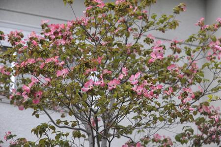hanamizukiwhite2011427-3.jpg