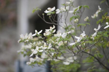 hanamizukiwhite2011427-4.jpg