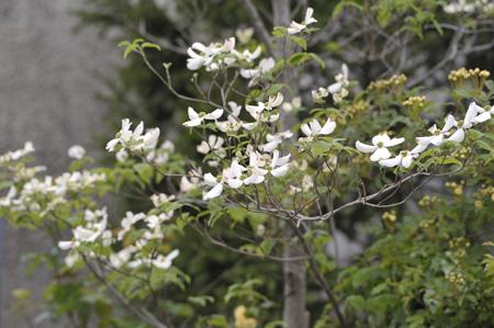 hanamizukiwhite2011427-5.jpg