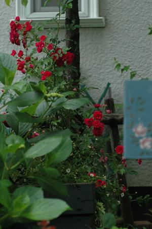 kingrose2011601.jpg