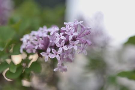 lilac2011505.jpg