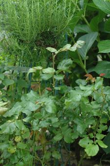 rose2011610-6b.jpg