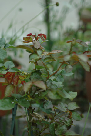rose2011610-7a.jpg