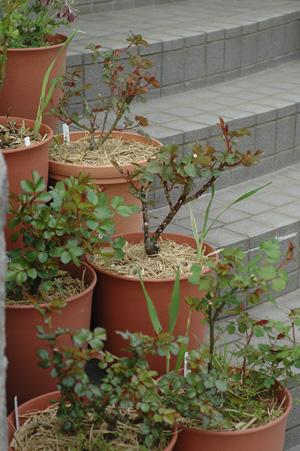 roses2011407-1.jpg