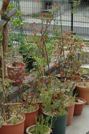 roses2011407-2.jpg