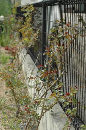 roses2011407-4.jpg