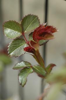 roses2011407-5.jpg