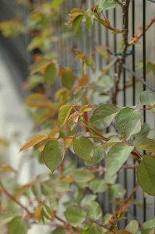 roses2011407-6.jpg