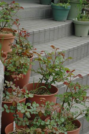 roses2011420-2.jpg
