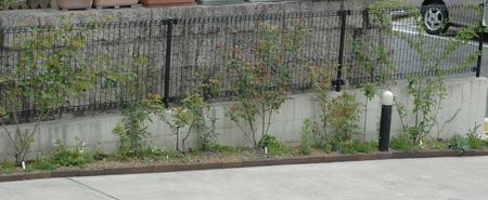 roses2011420-3.jpg