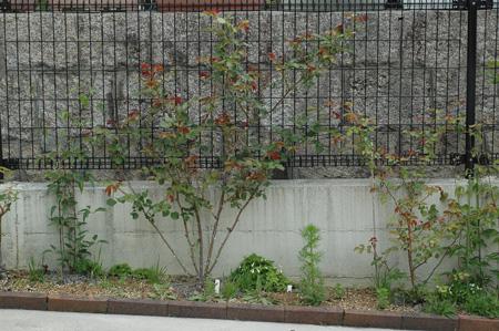roses2011420-4.jpg