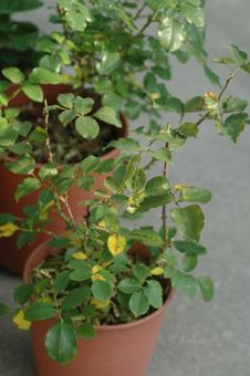 roses2011624-2.jpg