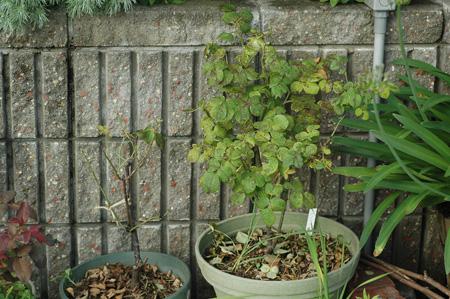 roses2011624-5.jpg