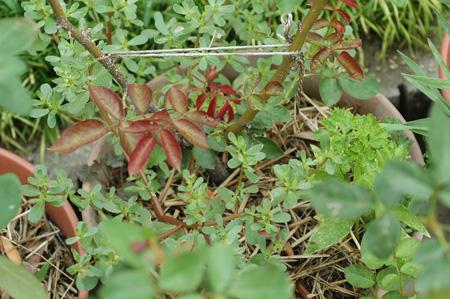roses2011802-2.jpg