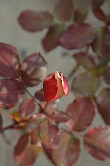roses2012118-2.jpg