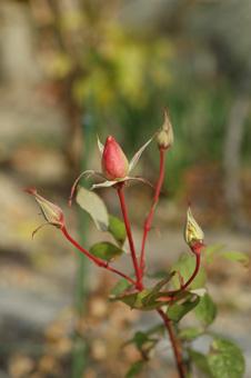 roses2012118-3.jpg