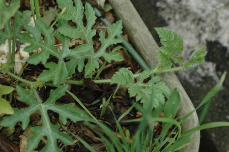suika2011601-1.jpg