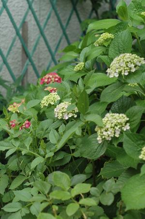 uzuajisai2011609-3.jpg