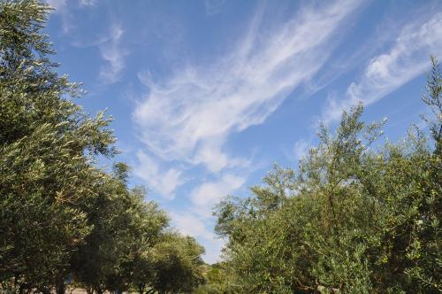オリーブと秋の空