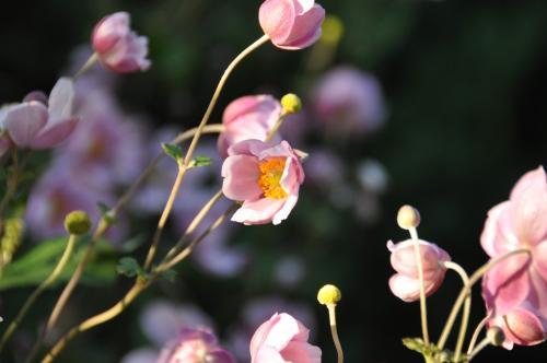 すぼみかけの花