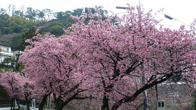 熱海桜の並木 3月4日に撮影