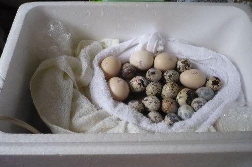 ウズラ卵とウコッケイ卵