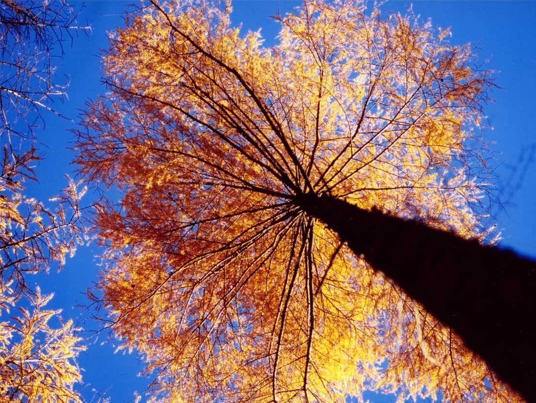 紅葉の落葉松(八ヶ岳)