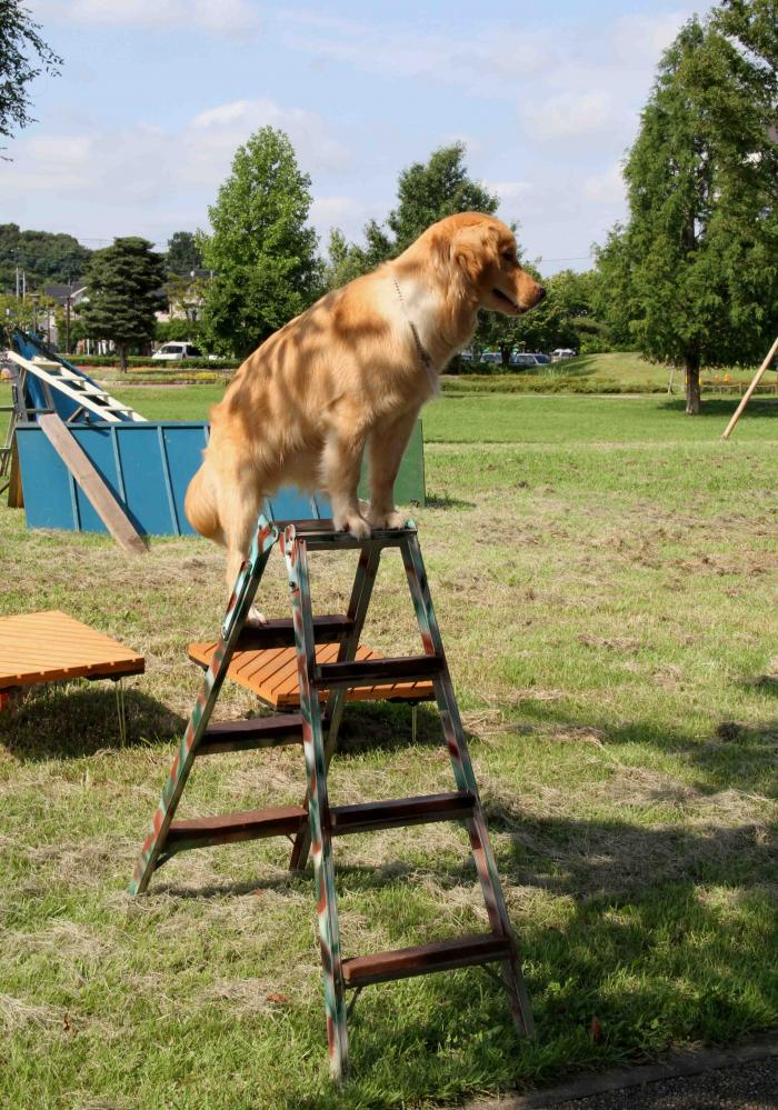 脚立犬ヒット誕生(2)