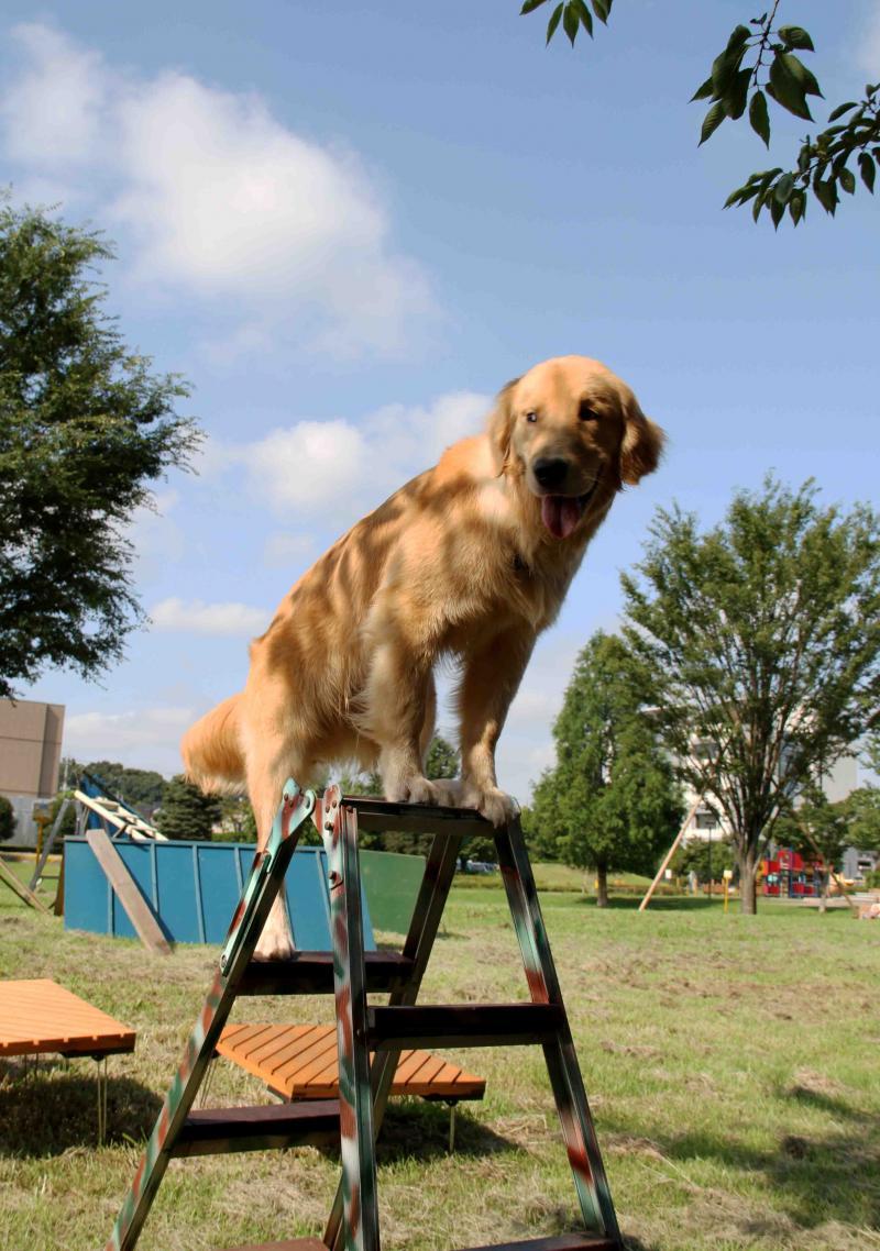 脚立犬ヒット誕生(3)