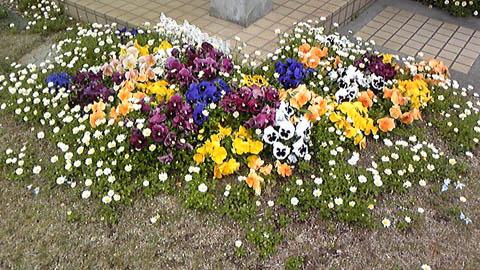 家に帰っても庭で花見ができそう。パンジー満開です。