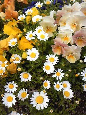 庭先の花、綺麗に咲いてます。どこを撮ってもお花畑に見える。
