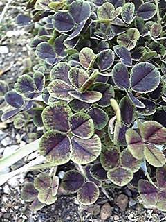 あ、四つ葉!といってすぐさま撮影された庭のクローバー。