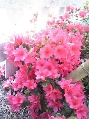 鈴木映理子撮影・庭のツツジその2。ちょっと引いてみました。