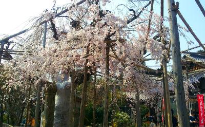 千手院の枝垂れ桜