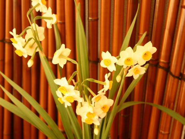 早々と 『水仙』開花の便りが・・・