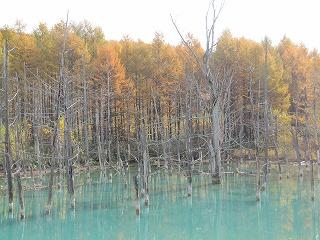 青い池のカラマツ・・・