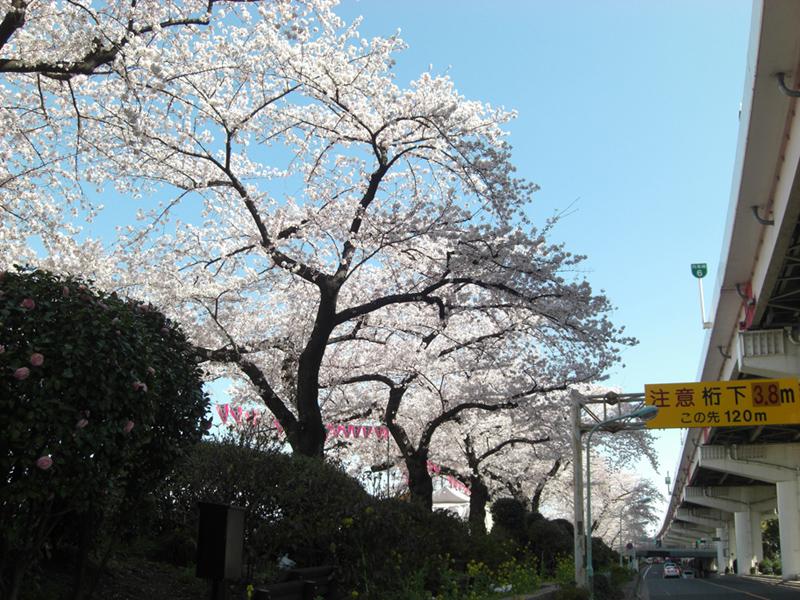 sumida_sakura