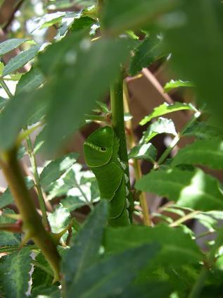 アゲハの幼虫 その2