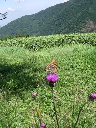 ウラギンヒョウモン♂(美ヶ原)