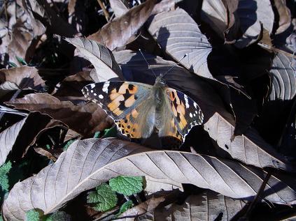 ヒメアカアテハ(2011年12月)
