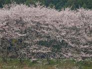 太田川の桜