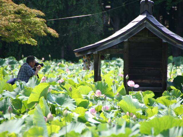 青森県 平川市 尾上町 猿賀神社 蓮の花