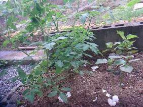 110618家庭菜園1