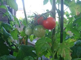 110717家庭菜園2
