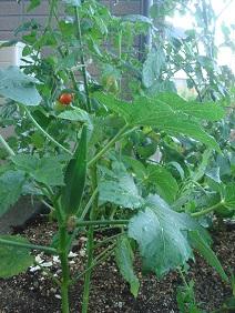 110717家庭菜園1