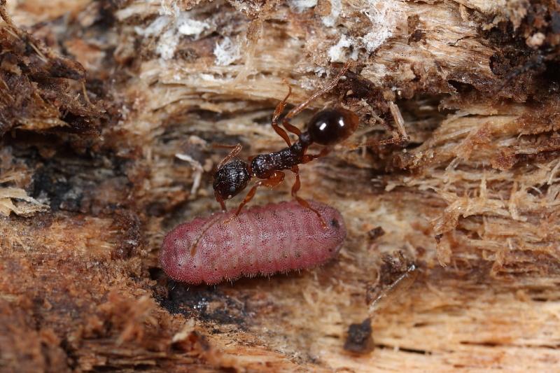 オオゴマシジミ幼虫