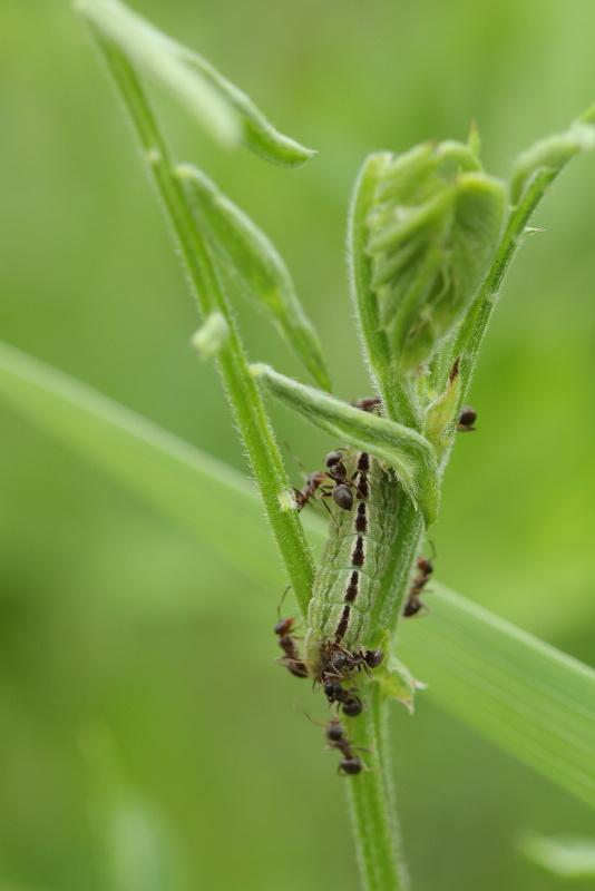 ヒメシジミ幼虫
