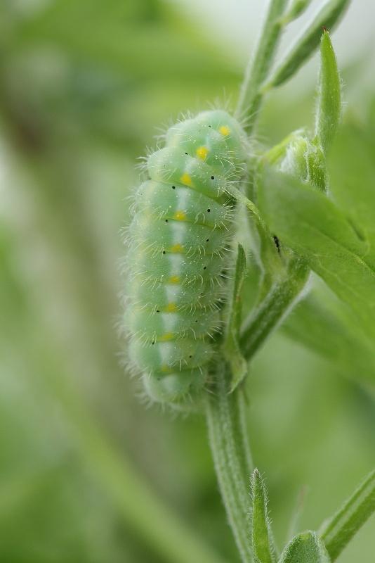 ベニモンマダラ幼虫